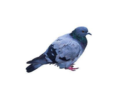 The most common species of pigeon was the dove, which became an inhabitant of the wilderness and city streets.