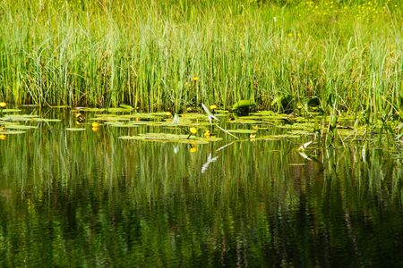 Forest lake with blooming flowers on a background of reeds. Stock fotó