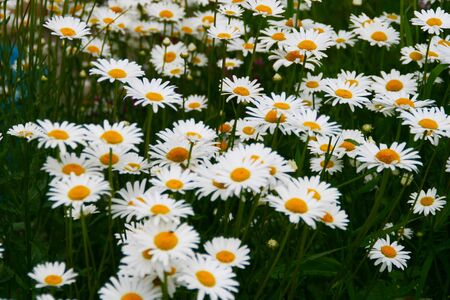 Small daisies dotted the whole field.