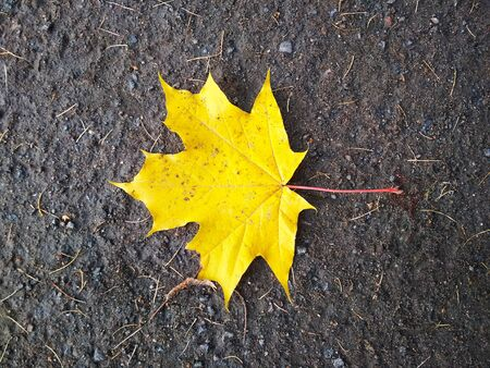 A bright yellow maple leaf lies on the ground.