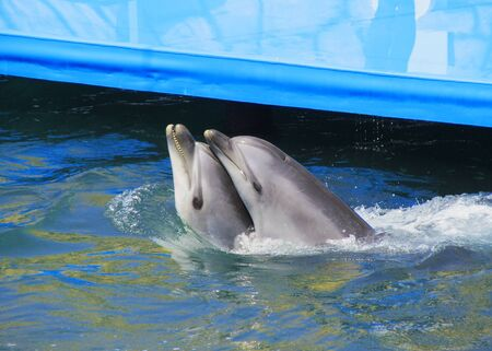Two dolphins with their heads touching in the pool.