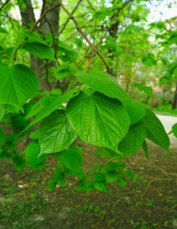 Large Linden leaves on a background of green trees.