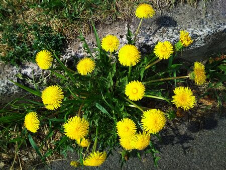 Many dandelion flowers on a single Bush with a top view. Stock fotó