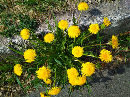 Several large dandelions bloomed on the sidewalk.