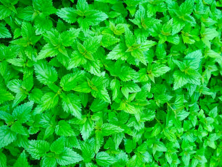 Green background of young nettle leaves in spring.