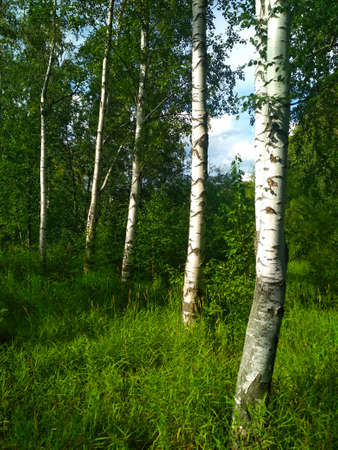 A few white birches with young leaves in the Park. Stock fotó
