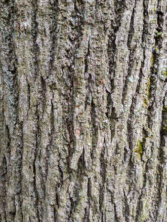 Bark of a large brown tree close-up.