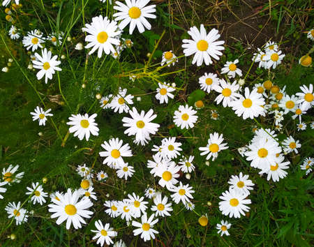 Photo small daisies dotted the whole field. Stock fotó