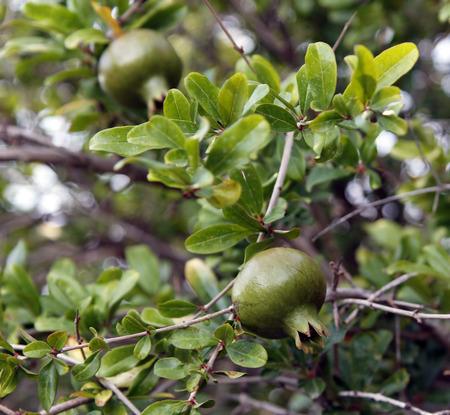 pommegranate: Pomegranates