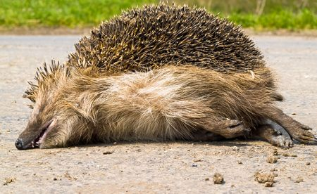 dead porcupine in the middle of the road
