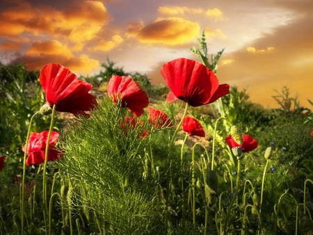 lanscape: poppy field in sunset green grass clouds sky
