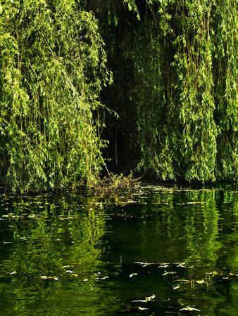 sweet willow green flowing on the lake photo