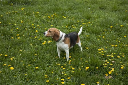 watchful: watchful american foxhound dog in a grass field