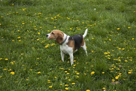 watchful american foxhound dog in a grass field