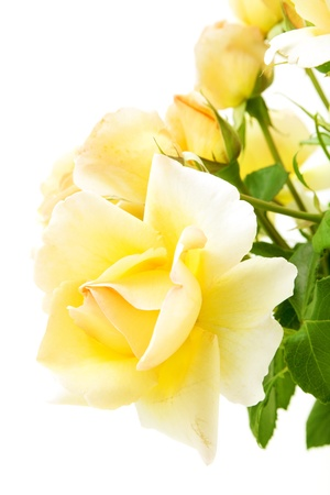 blossom yellow rose isolated on white background Stock Photo