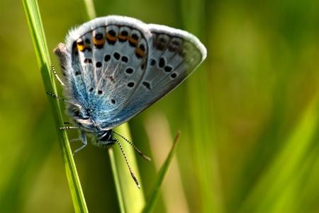 mariposa azul: de mariposas en el verano de naturaleza verde