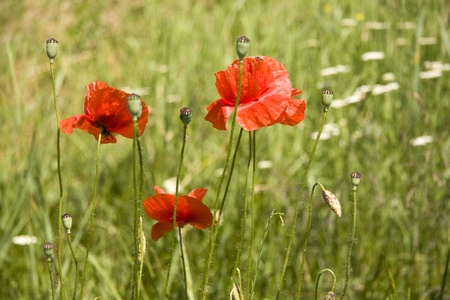poppy flowers on a green background in the sunlight photo