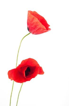 Red Poppyon weißen Izolated Hintergrund Standard-Bild - 8640955