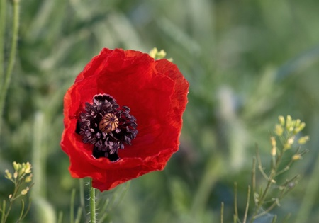 field with red poppies flowers photo