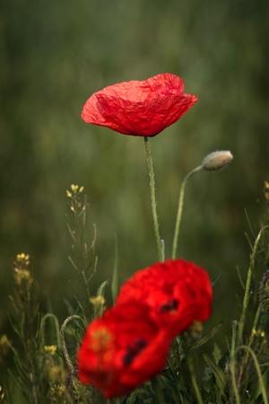 poppy flower on dark brown background photo
