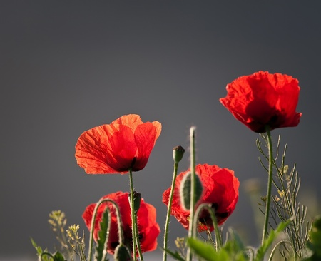 photographed poppies amid greyish