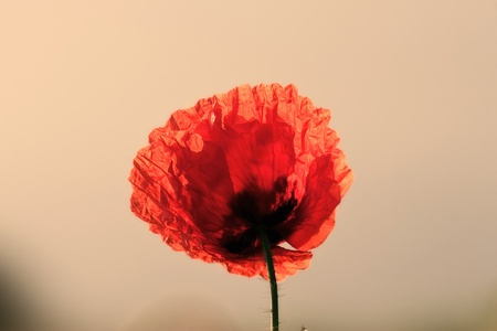 poppy flower in macrofocus photo