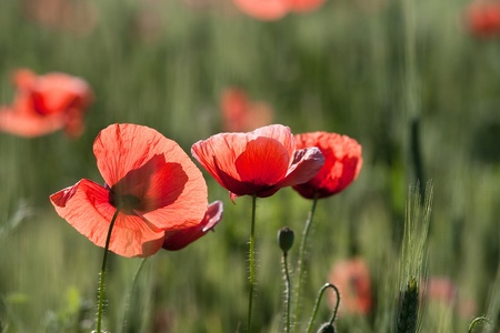 Poppy flowers on the background of the wheat chain photo
