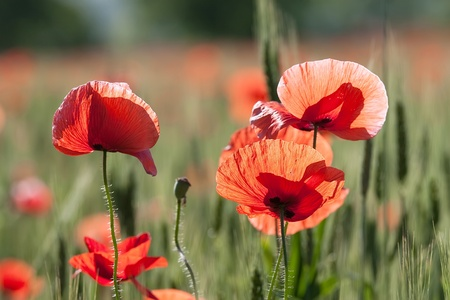 Poppy flowers on the background of the wheat chain