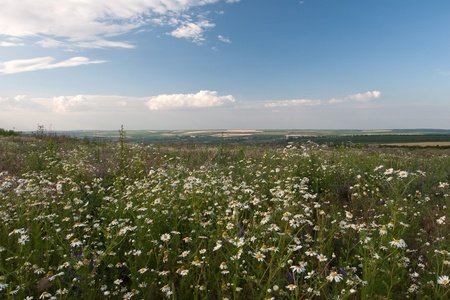 camomiles landscape with a field Stock Photo - 8819000