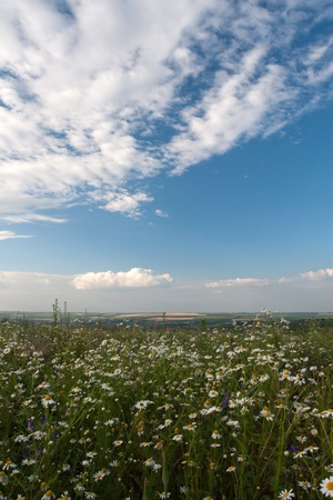 camomiles landscape with a field Stock Photo - 8818988
