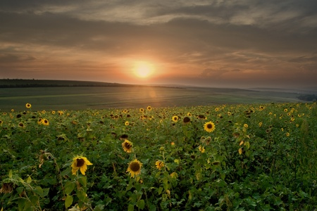 sunflower field at sunset photo