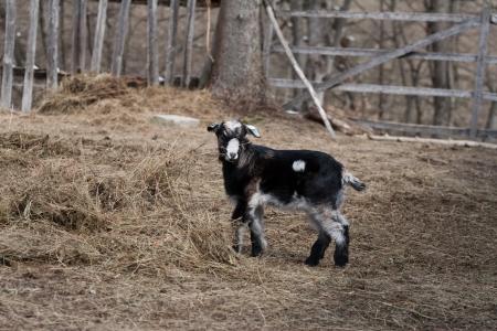 yeanling: goat