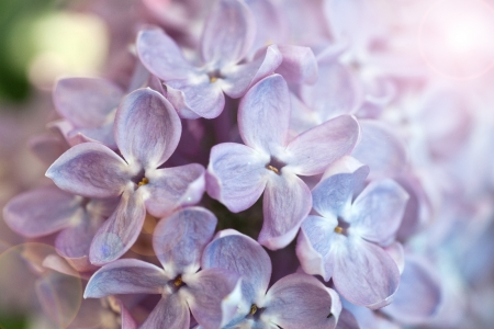 Just blooming lilac flowers. Abstract background. Macro photo. photo