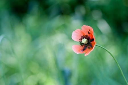poppy met onscherp papaver veld in de achtergrond.