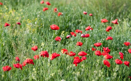 Poppy flowers in spring garden photo