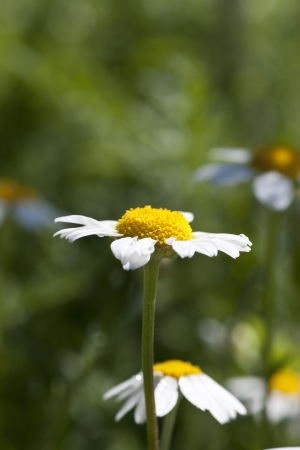 Wild chamomile. White flowers. Selective focus. Bokeh