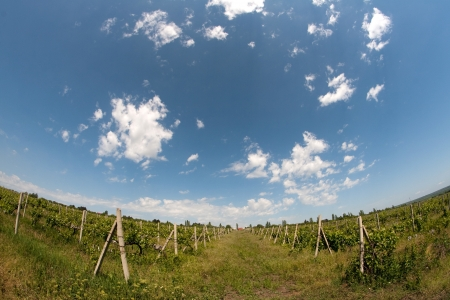 vineyard landscape with rows of vines photo
