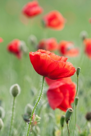 alternative medicine: poppy  with out of focus poppy field in background. Stock Photo