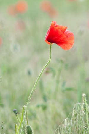poppy  with out of focus poppy field in background. Stock Photo