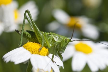Green grasshopper on chamomille flower photo