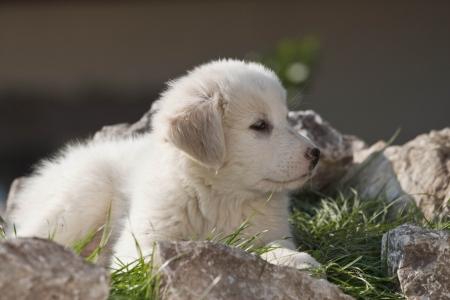 puppy shepherd dog on the background photo