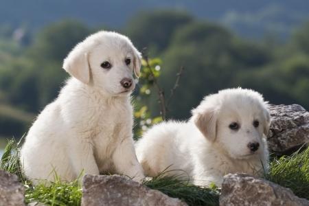 chien: puppy shepherd dog on the background