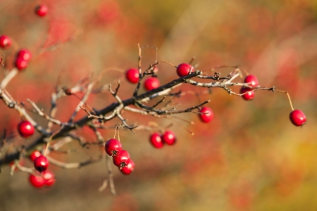 laevigata: Hawthorn branch with berries