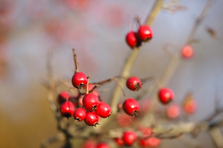 Hawthorn branch with berries Imagens - 24697190