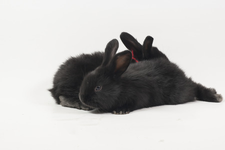 racy: Small racy dwarf black bunny isolated on white background.