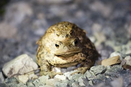 grenouille verte: grenouille verte sur le gravier