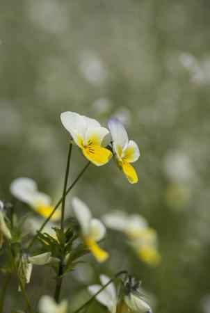 arvensis: Field Pansy (Viola arvensis) in spring