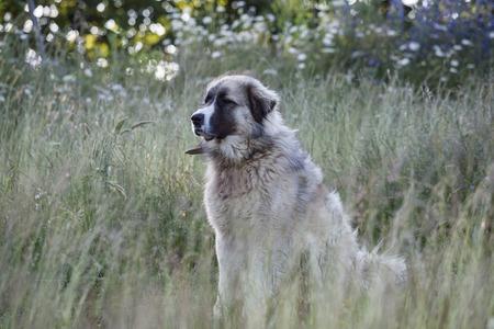 caucasian shepherd: Caucasian Shepherd dog