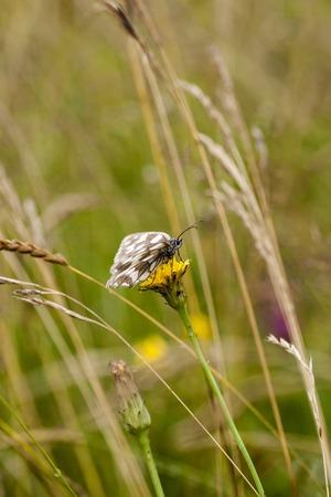 butterfly feeding on buttonbush flower.