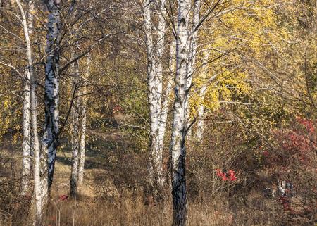 Birch Alley in autumn photo